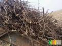 供应冬枣树枝